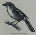 Picture Natural History - No 107 - The Shrike.png