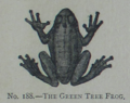 Picture Natural History - No 188 - The Green Tree Frog.png