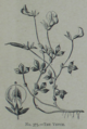 Picture Natural History - No 375 - The Vetch.png