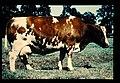 Pie Rouge Flandre = 世界の牛 ピー・ルージュ・フランドル(雌) (36660261046).jpg