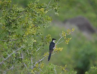 Jacobin cuckoo - Pied cuckoo in Pune, Maharashtra