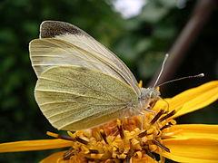 Pieris brassicae - lt.jpeg