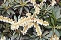 Pieris japonica var. yakushimanum 2zz.jpg