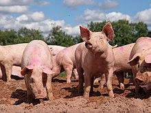 Pig farm Vampula 9.jpg
