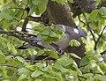 Pigeon 2 (3519381410).jpg
