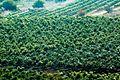 PikiWiki Israel 29263 Mango Plantation.jpg