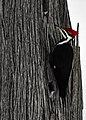 Pileated Woodpecker, Drummond Island, Michigan - 49460182452.jpg