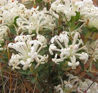 <i>Pimelea humilis</i> Species of plant
