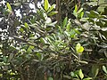 Pimenta Racemosa - Feuille.jpg
