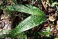 Pinanga crassipes.jpg