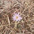 Pinaropappus roseus (Asteraceae).jpg