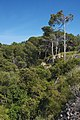 Pine trees in Sainte Lucie 01.jpg
