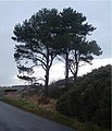 Pines near Cairnieburn. - geograph.org.uk - 299596.jpg