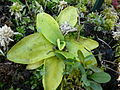 Pinguicula grandiflora 03 by Line1.jpg