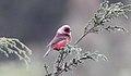 Pink-headed Warbler (Ergaticus versicolor) (5783222165).jpg
