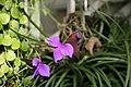Pink Quill (Tillandsia cyanea) Air Plant (3068925911).jpg