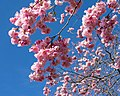 Pink double cherry blossoms in Torp 8.jpg