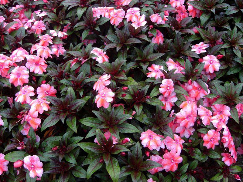 File:Pink flowers Dalat.jpg