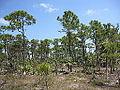 Pinus elliottii var densa, Big Pine Key, Florida.jpg