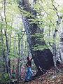 Pinus heldreichii subadriatic SE Dinaric Alps Mt Orjen.JPG