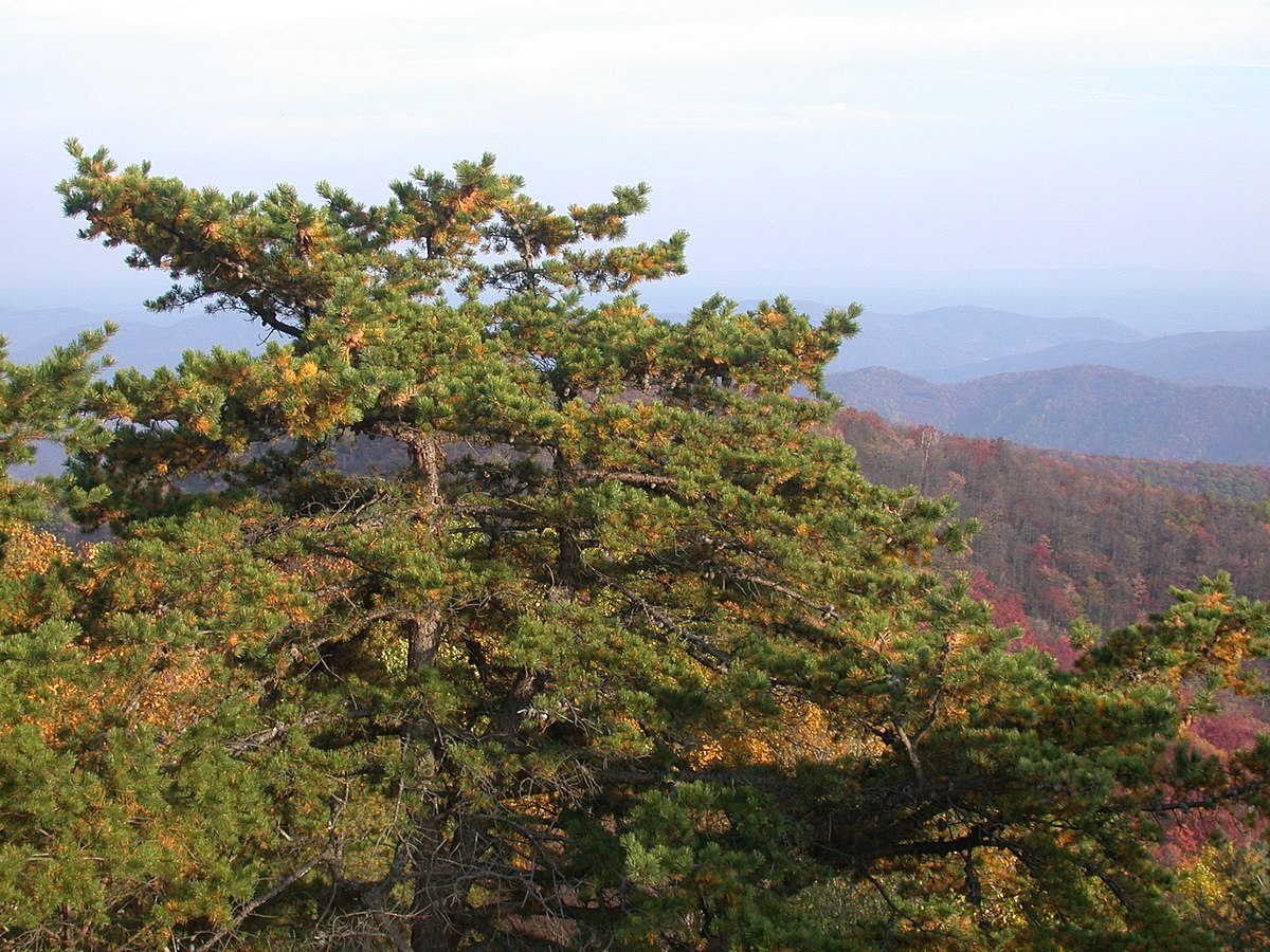 Pinus Pungens Wikispecies