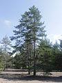 Pinus sylvestris Simo, Finland 22.06.2013.jpg