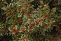 Pistacia lentiscus Toulon France.jpg