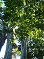 Plàtans de Can Mercader - arbres d'interès local P1510311.jpg