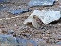 Plain Mountain Finch (Leucosticte nemoricola) (48051287423).jpg