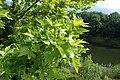 Platanus orientalis kz04.jpg