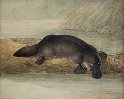 Dziobak as well JohnWilliamLewin further File Platypus by Lewin likewise  on file platypus by lewin