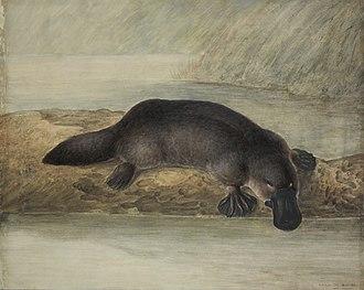 John Lewin - Image: Platypus by Lewin
