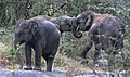 Play time for young elephants.jpg