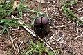 Plum dung beetle (Anachalcos convexus) 2 of 4.jpg