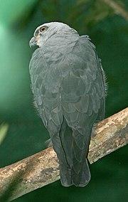 Plumbeous Kite 1280