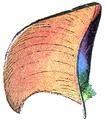 Plume de Canard mandarin (Millot-1907).png