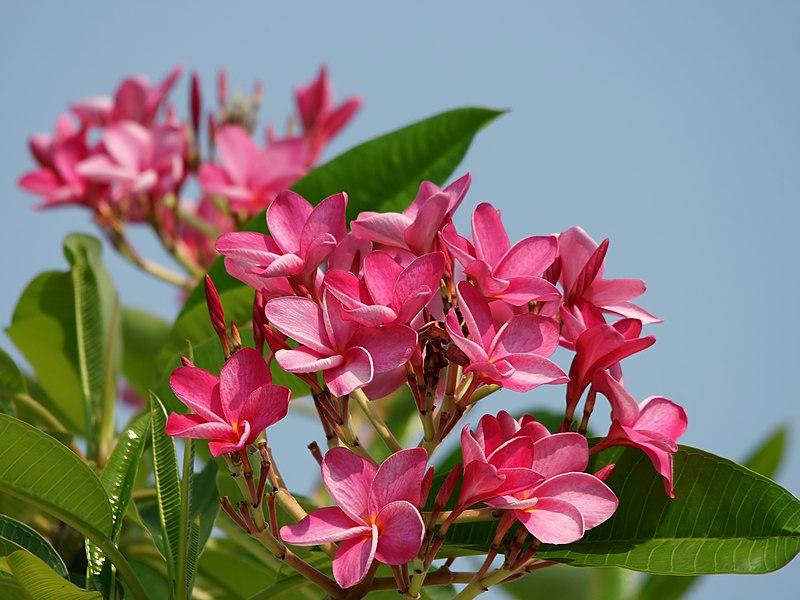 File:Plumeria rubra (flowers).jpg