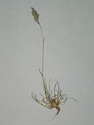 Poa bulbosa with ergot.JPG