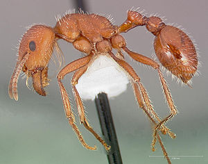 300px Pogonomyrmex maricopa casent0005712 profile 1 World's Most Venomous Insect Found in Arizona