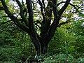 Pohraničný strom - panoramio.jpg