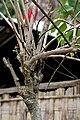 Poinsettia, Christmas flower (Euphorbia pulcherrima) at Jayanti, Duars, West Bengal W Picture 444.jpg