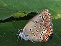 Polyommatus thersites ♀ - Chapman's blue (female) - Голубянка терзит (самка) (40326404684).jpg