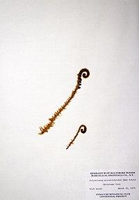 Polystichum acrostichoides BW-1979-0330-0537.jpg