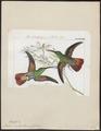 Polytmus devillei - 1820-1860 - Print - Iconographia Zoologica - Special Collections University of Amsterdam - UBA01 IZ19100193.tif