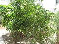 Pomegranate - മാതളനാരകം-1.JPG