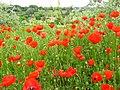 Poppy - panoramio - Wolodymyr Lavrynenko.jpg