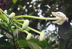 Bastimentos Island - Posoqueria latifolia, the Needle Flower, on Bastimentos Island