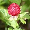 Potentilla hebiichigo (fruits s4).jpg