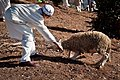 Preparing the Animal sacrifice at Eid at Adha 0.jpg