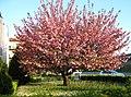 Primavera....... Rosa - panoramio.jpg